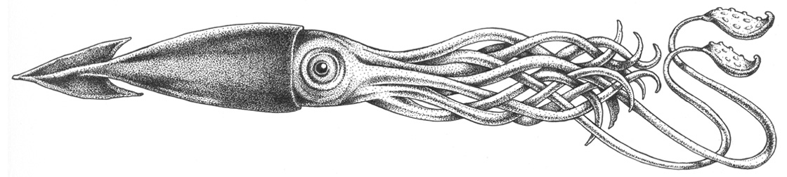 Giant Squid Scientific Illustration